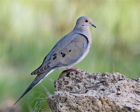 mourning dove birds copyrightfreephotos hq101 com