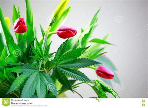 marijuana green fresh large leafs cannabis hemp plant