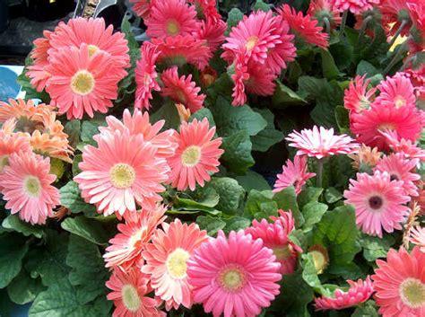 fiori recisi nomi piante da vaso gerbera gerbera jamesonii