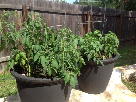 container gardening forum advice for a tomato container garden helpfulgardener