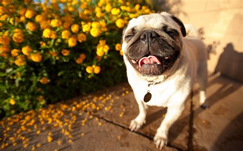 pug free pug wallpapers hd