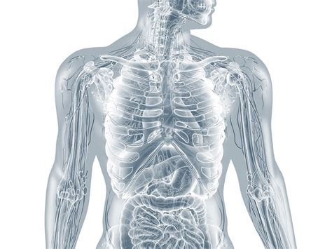 innere organe mann innere organe mann