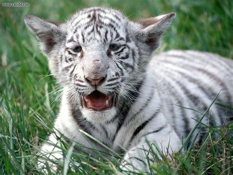 imagenes de jaguar blanco save white royal bengal tigers myclipta
