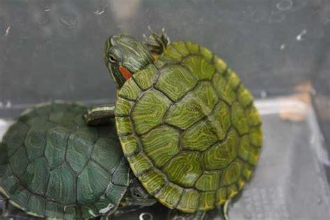 Peliharaan Anakan Kura Kura Baby Turtle jenis dan harga kura kura hias binatang peliharaan