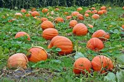 growing pumpkins real food mother earth news