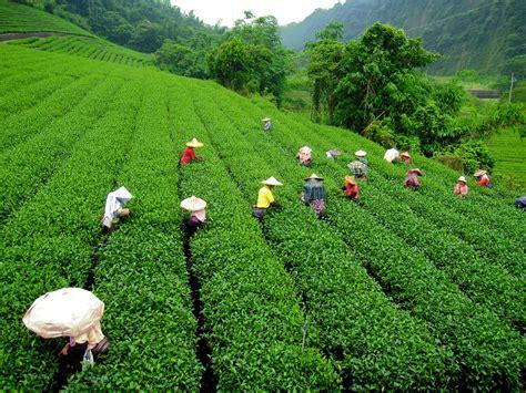tea farms taiwan  cycles
