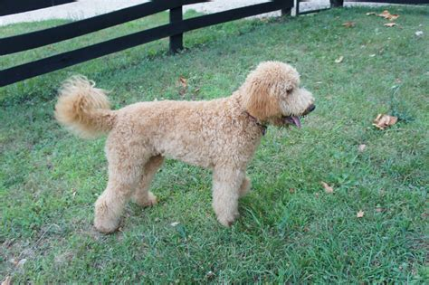 Goldendoodle Shedding 301 moved permanently