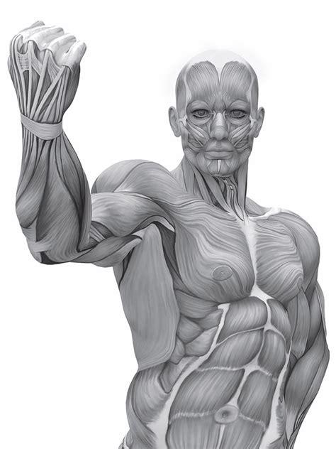 tavola anatomica muscoli atlante di anatomia posizioni dinamiche materiali per