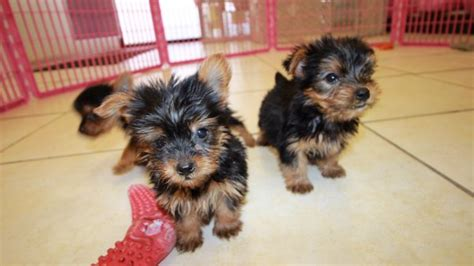 yorkie poo puppies for sale australia teacup yorkie poo puppies for sale in breeds picture breeds picture