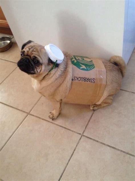 pug starbucks costume pug pumpkin spice latte pugkin spice latte photo huffpost