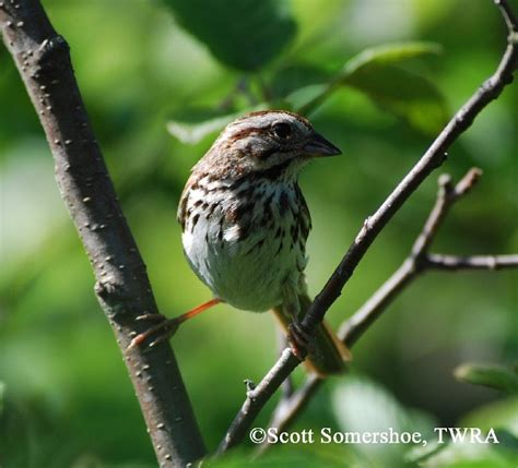 tennessee watchable wildlife song sparrow habitat 1