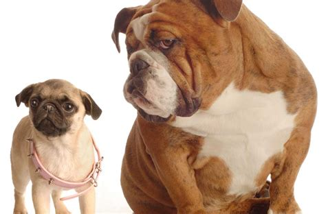 pug puppies health problems health issues for flat faced dogs pugs purely pugs
