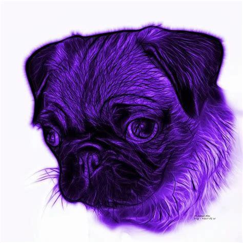 purple pug purple beautiful pug ya gotta purple