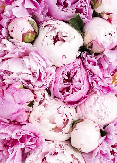 pink peonies www imgkid com the image kid has it light pink peonies wallpaper www imgkid com the image