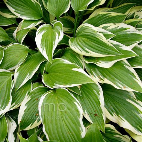 plant pictures hosta antioch