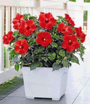 hibiskus zimmerpflanze kaufen hibiskus 180 roter alex 180 baldur garten auf blumen de kaufen
