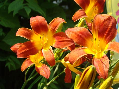 lilies or lillies lillies s n a p s