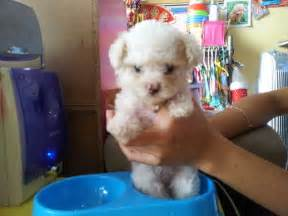Teacup poodle for adoption in toronto dog breeds picture