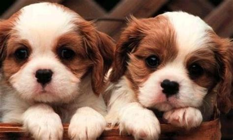 how much are teacup dogs teacup puppy pictures of the teacup breed