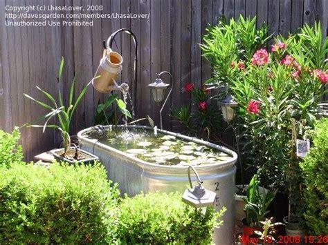 growing lotus in a pot water gardening growing water lotus in pots the