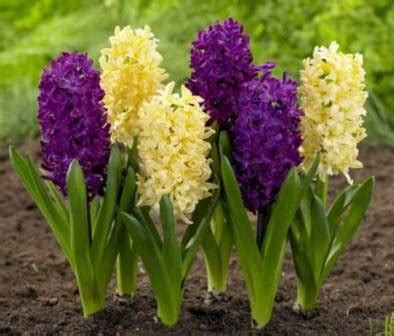 fiore profumatissimo il giacinto 232 un fiore di co dizionario fiori a