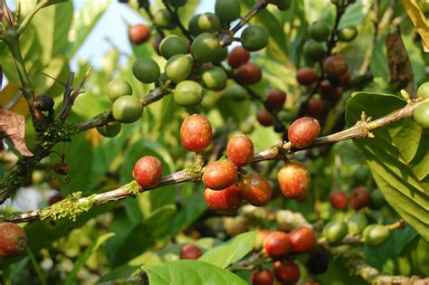 Liberica Coffee coffee excelsa pihatt coffee awaken the senses