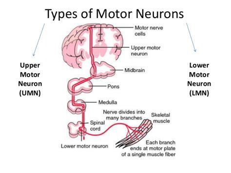 motor neuron definition motor neuron lesions umnl lmnl