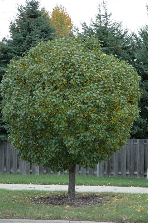 ornamental shade trees morden nurseries and garden center