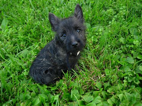 cairn terrier puppy cairn terrier puppies wallpoop the wallpaper site wallpoop the wallpaper site