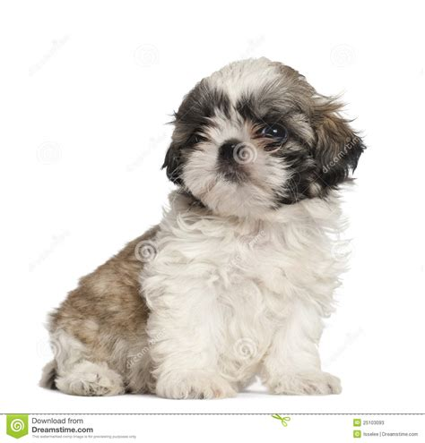 shih tzu 2 months shih tzu puppy 2 months sitting stock photos image 25103093