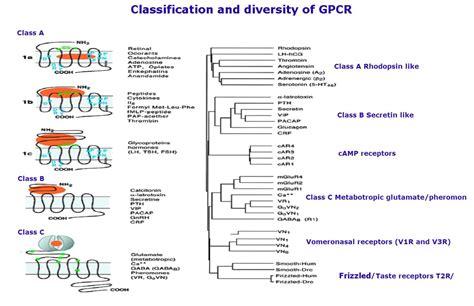 G-Protein Coupled Receptor (GPCR) Peptide Ligand Library G Protein Coupled Receptors Gpcrs