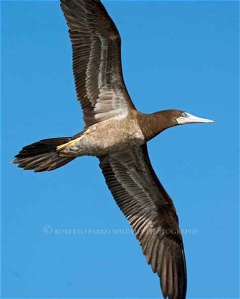 brown booby, belize: robertofabbri: galleries: digital