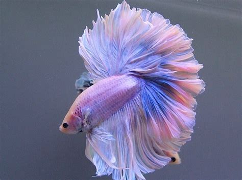 betta colors the colors and kinds of betta fish xcitefun net