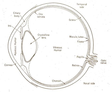 cross section of the human eye o1 eye cross section diagram jpg