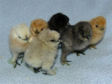 silkie chicken colors silkie colors