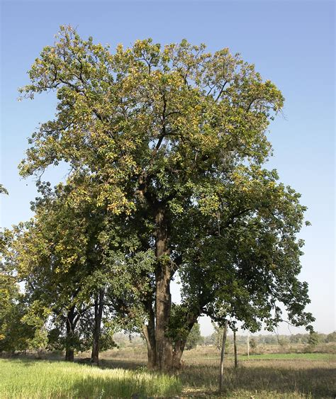 tree image file mahwa tree umaria district madhya pradesh india