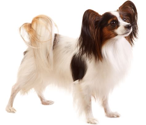 papillon breed health history appearance