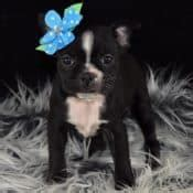 boston terrier puppies for sale in pa boston terrier puppies for sale in pa ridgewood puppies adoptions