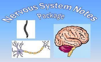section 49 1 review neurons and nerve impulses 49 best images about nervous system unit on pinterest