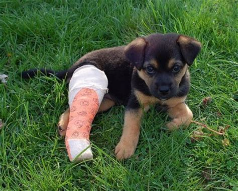 puppy broken leg your has broken his leg what do you do the pet product guru