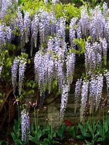 wisteria species and cultivars a gallery on flickr