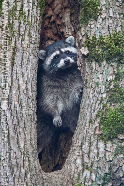 how to a coon to tree a raccoon 64 best images about coon on coon hunters and times
