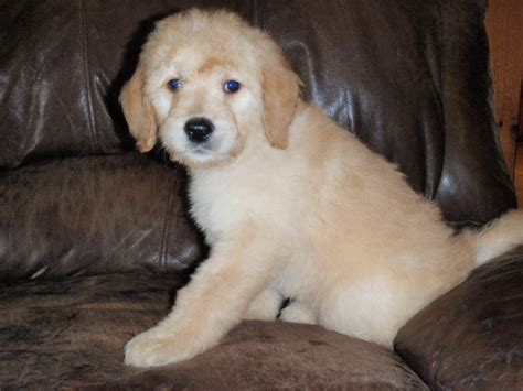 hypoallergenic dogs for sale puppies for sale illinois non shedding puppies hypo allergenic puppies