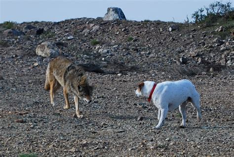 are coyotes dogs how to protect your pets from coyotes anthem pets