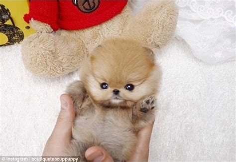 cutest puppy in the world the cutest in the world according to instagram usrs daily mail