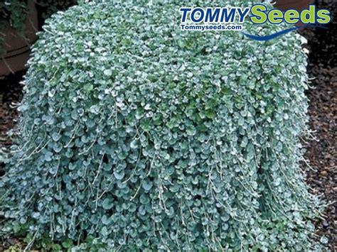 decorative plants for home garden dichondra repens lawn seeds money grass hanging decorative