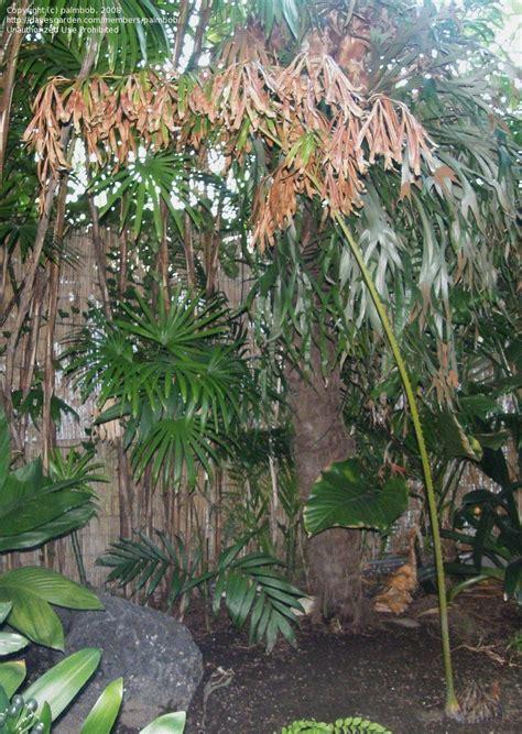 comfort plant plantfiles pictures cycad royal sago cycas multipinnata