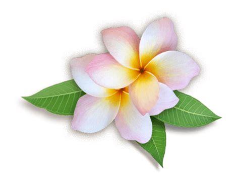 a fiori spa plumeria png hd png mart