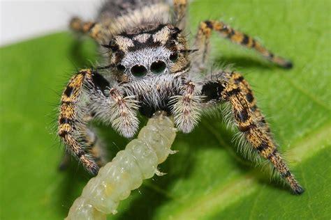 spiders eat    animal prey  humans
