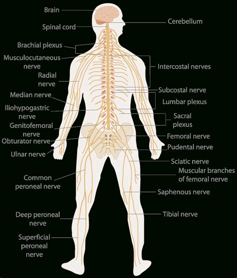 nerves of the human diagram nerves in the human diagram anatomy organ